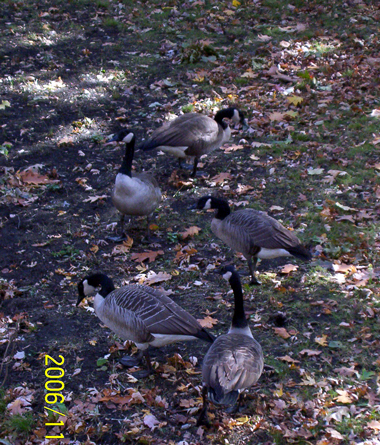 Geese_5